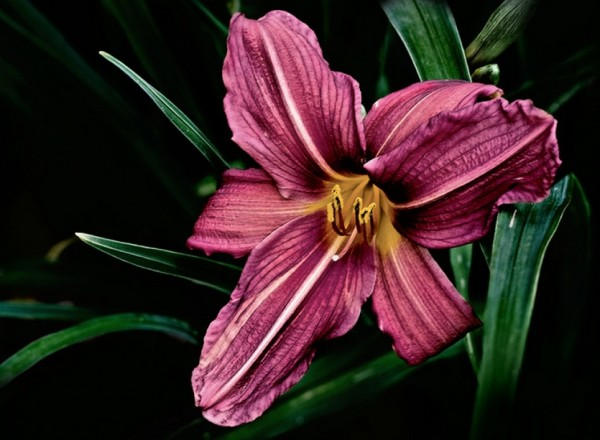Lily-600x440.jpg